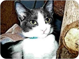 Domestic Shorthair Kitten for adoption in San Clemente, California - NICKS