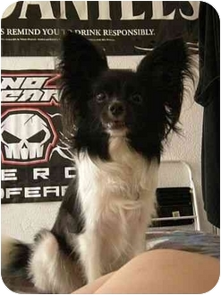 Papillon Mix Dog for adoption in Bel Air, Maryland - Misty