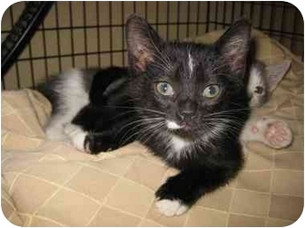 Domestic Shorthair Kitten for adoption in Houston, Texas - Rosalind