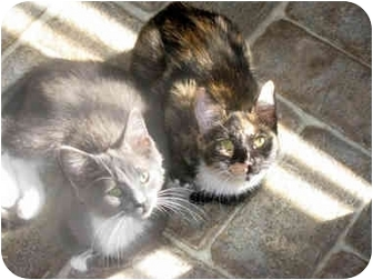 Domestic Shorthair Cat for adoption in Xenia, Ohio - Lilly