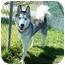 Photo 2 - Husky Dog for adoption in San Clemente, California - CHANCE
