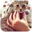 Photo 1 - American Shorthair Kitten for adoption in New York, New York - Dennis