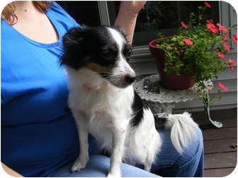 Papillon Mix Dog for adoption in Rochester, New Hampshire - Dixie