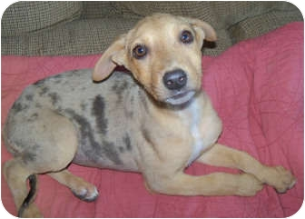 Catahoula Leopard Dog Mix Puppy for adoption in Pasadena, California - ANGEL
