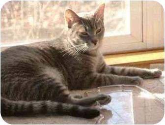 Domestic Shorthair Cat for adoption in Sheboygan, Wisconsin - Cissy