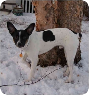 Rat Terrier Mix Dog for adoption in Owatonna, Minnesota - Sonic
