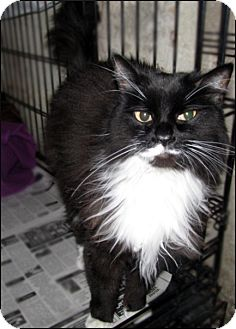 Domestic Longhair Cat for adoption in Colville, Washington - Addison