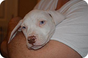 Boxer Mix Puppy for adoption in Marshfield, Massachusetts - Frankie-pending adoption