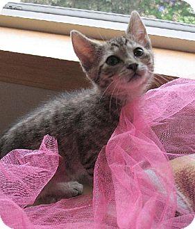 Domestic Shorthair Kitten for adoption in HILLSBORO, Oregon - Percy