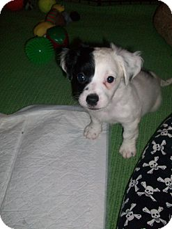 Dachshund/Jack Russell Terrier Mix Puppy for adoption in Hurricane, Utah - Curly Moe - C Litter