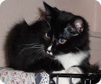 Domestic Longhair Kitten for adoption in Buhl, Idaho - Tumbleweed