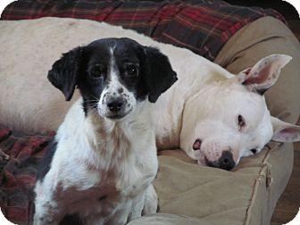 Beagle Mix Dog for adoption in Staunton, Virginia - Cynthia