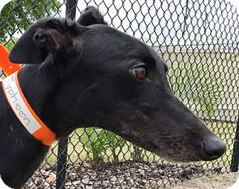 Greyhound Dog for adoption in Longwood, Florida - Slatex Typhoon