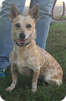 Australian Cattle Dog/Dachshund Mix Dog for adoption in Texico, Illinois - Little Bit