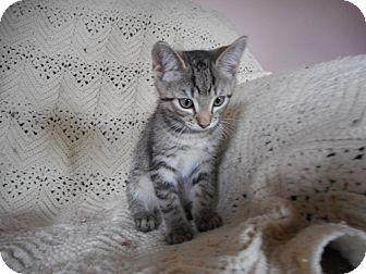 Domestic Shorthair Kitten for adoption in Carlisle, Pennsylvania - Animal