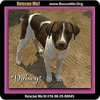 Adopt A Pet :: Daisy - Encino, CA