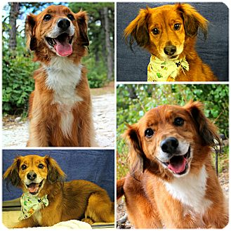 Border Collie/Spaniel (Unknown Type) Mix Dog for adoption in Forked River, New Jersey - Teddy Bear
