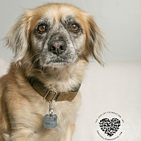Cocker Spaniel Mix Dog for adoption in Inglewood, California - Bud
