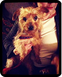Yorkie, Yorkshire Terrier Dog for adoption in Grand Bay, Alabama - Cash