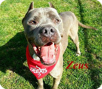 Pit Bull Terrier Mix Dog for adoption in El Cajon, California - Zeus