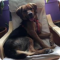 Adopt A Pet :: Clifford - Toronto, ON