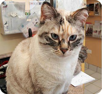 Siamese Cat for adoption in Hanover, Ontario - Stella