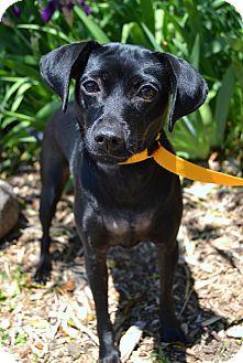 Miniature Pinscher Mix Dog for adoption in Michigan City, Indiana - Trixie