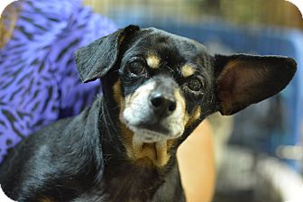 Chihuahua/Dachshund Mix Dog for adoption in Ogden, Utah - Betsy