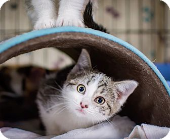 Domestic Shorthair Kitten for adoption in Jersey City, New Jersey - Harriet Smith