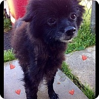 Adopt A Pet :: Stewie - Hartford City, IN