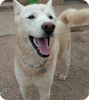 Siberian Husky Dog for adoption in Cedar Crest, New Mexico - Wizard