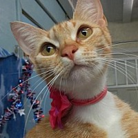 Domestic Shorthair Cat for adoption in Picayune, Mississippi - Amber