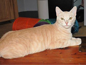 Domestic Shorthair Cat for adoption in Stevensville, Maryland - Anya