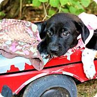 Adopt A Pet :: Rizzo - Pequot Lakes, MN