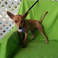 Adopt A Pet :: Roux - San Antonio, TX