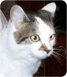 Domestic Shorthair Cat for adoption in Anderson, Indiana - Plato