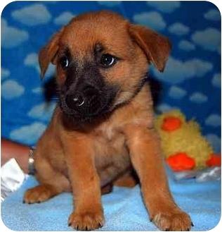Shepherd (Unknown Type)/Shepherd (Unknown Type) Mix Puppy for adoption in Broomfield, Colorado - Biff