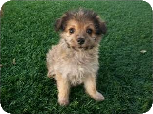 Yorkie, Yorkshire Terrier/Poodle (Miniature) Mix Puppy for adoption in Tustin, California - Chase