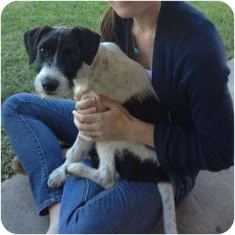 Jack Russell Terrier Puppy for adoption in Austin, Texas - Lilly in Austin