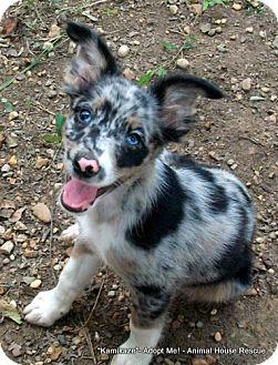 Sheltie, Shetland Sheepdog/Rat Terrier Mix Puppy for adoption in Metairie, Louisiana - Kamikaze