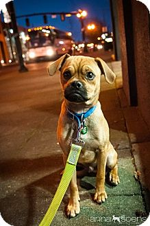 Miniature Pinscher/Pug Mix Puppy for adoption in Portland, Oregon - Butters