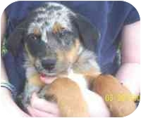 Catahoula Leopard Dog/Labrador Retriever Mix Puppy for adoption in Carrollton, Texas - Zoey