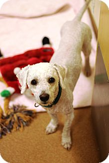 Poodle (Miniature) Mix Dog for adoption in Norwalk, Connecticut - Barkley