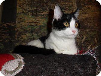 Domestic Shorthair Cat for adoption in Norwich, New York - Zelda