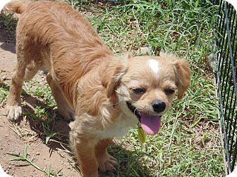 Chihuahua Mix Puppy for adoption in Las Cruces, New Mexico - Nibbles