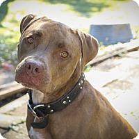 Adopt A Pet :: Jax - Des Peres, MO