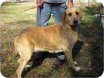 Labrador Retriever Dog for adoption in Oswego, New York - Suki