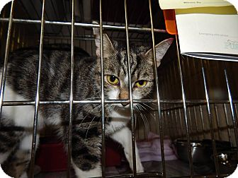 Domestic Shorthair Cat for adoption in Henderson, North Carolina - Tina*