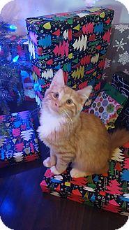 Domestic Longhair Kitten for adoption in Smithfield, North Carolina - Viggo