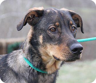 Shepherd (Unknown Type) Mix Dog for adoption in Marietta, Ohio - Cougar (Neutered)
